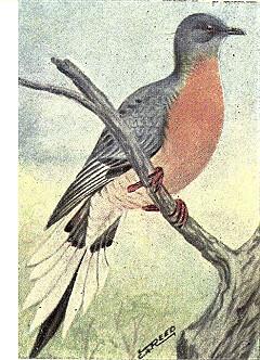 Reed-passenger-pigeon