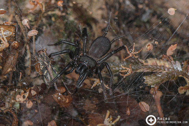 Funnel-Web Spider hunting a helpless grasshopper- Macrothele cf. segmentata ♀