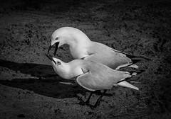 Sea Gull Tango