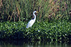 Great Egret, Tres Rios