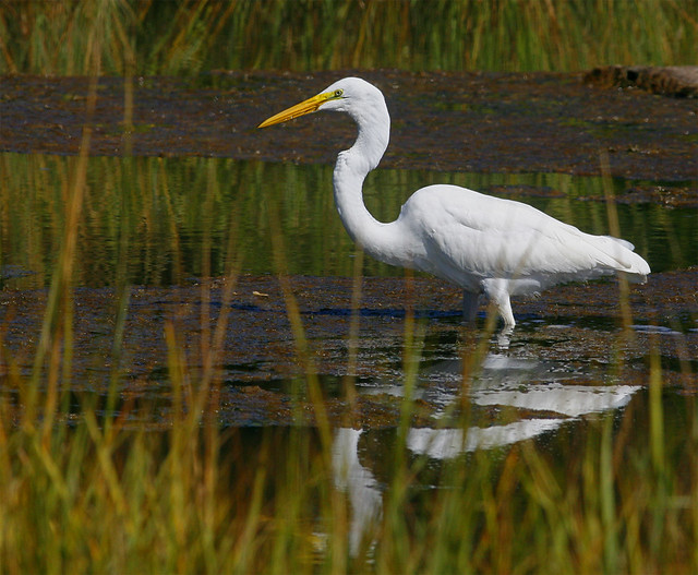 Great-Egret-9w