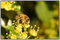 Honeybee on Ivy flowers