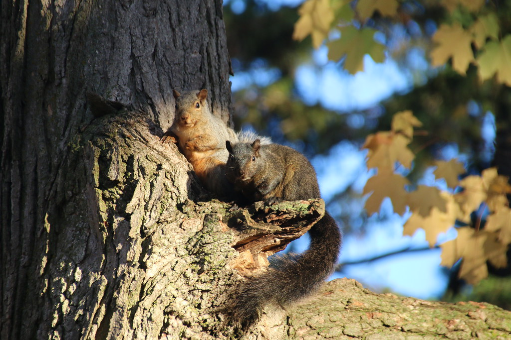 133/365/3055 (October 22, 2016) - Squirrels of Stratford - Taken on October 21 & 22, 2016 (Stratford, Ontario, Canada)