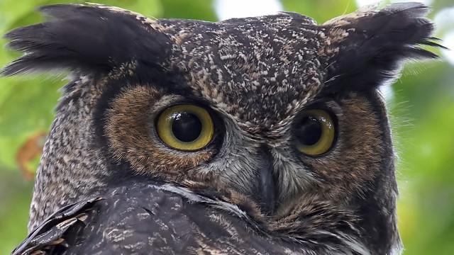 GH Owl shot in, Sony ILCA-77M2, Sony 500mm F4 G SSM (SAL500F40G)