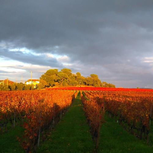 #vinhas #vinho #outono  o descanso das #videiras