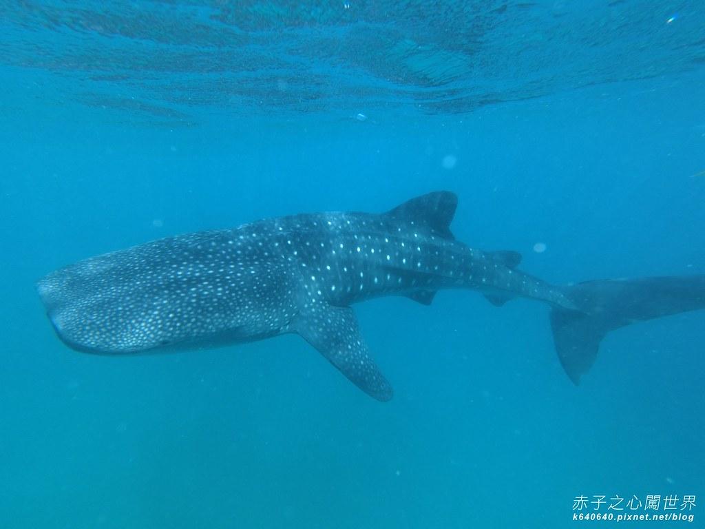 宿霧鯨鯊游泳-Oslob Whale Shark-011