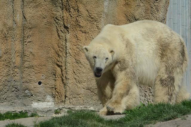 Eisbär Erik im Diergaarde Blijdorp
