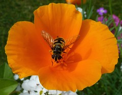 Butterflies, Bees and other insects