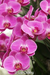 cattleya labiata(0.0), plant(0.0), lathyrus latifolius(0.0), cattleya trianae(0.0), flower(1.0), phalaenopsis equestris(1.0), flora(1.0), moth orchid(1.0), pink(1.0), petal(1.0),