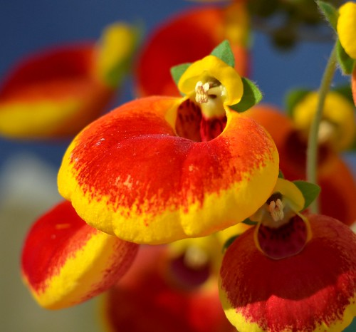 flowers red orchid macro nature yellow spring ngc blossoms exotic blooms puffy calcolaria jennypansing