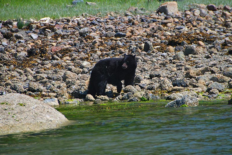 Bear Viewing in Fortune Channel near Tofino on Vancouver Island, British Columbia, with The Whale Centre, Tofino.