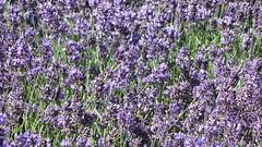 hyssopus(0.0), lavandula stoechas(0.0), common sage(0.0), lavandula dentata(1.0), flower(1.0), english lavender(1.0), plant(1.0), lavender(1.0), lavender(1.0), herb(1.0), wildflower(1.0),