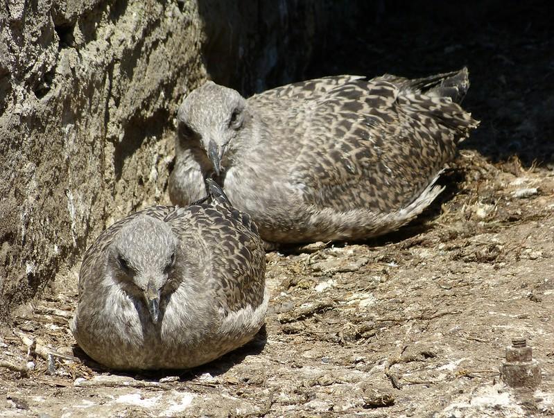 P1070924 - Juvenile Herring Gulls, Conwy