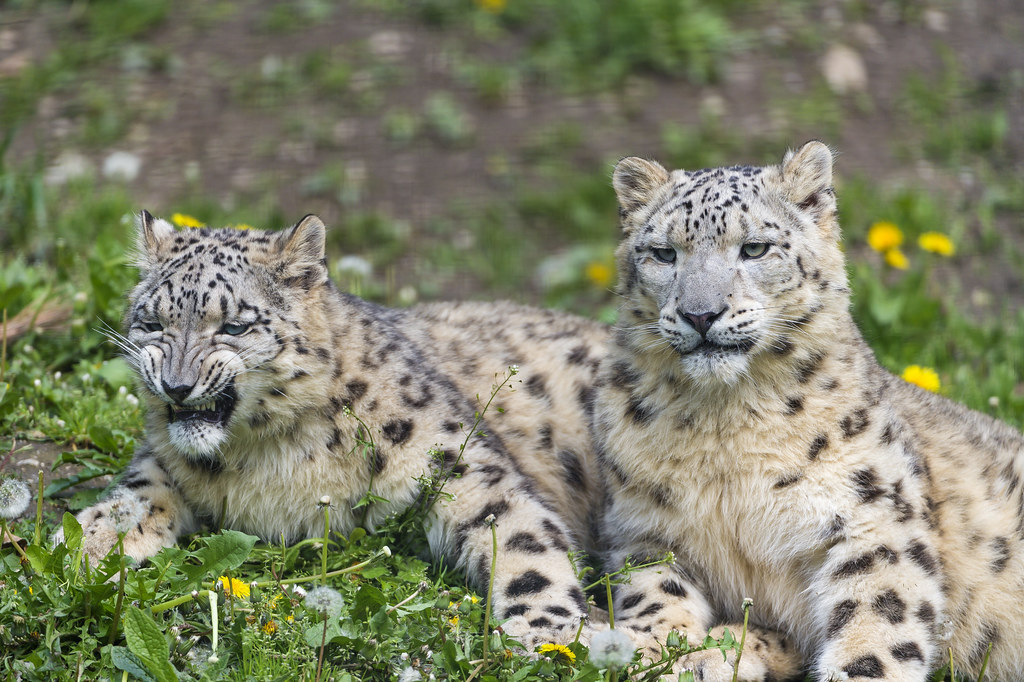 Two snow leopards together