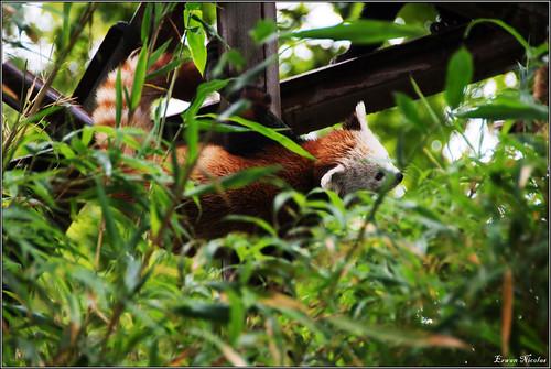 Jardin des Plantes: Panda Roux