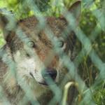 De moeder van Hannah en Pjort, de wolven waar ik bij mocht, en nog moeder van drie andere wolven