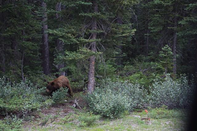 バンフの野生動物