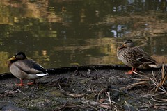 平安神宮の鴨 / Wild Ducks at Heian Jingu Shrine
