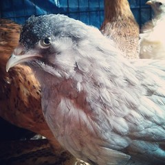 The #Bearded Lady: Piper has mutton chops :) #backyardchickens