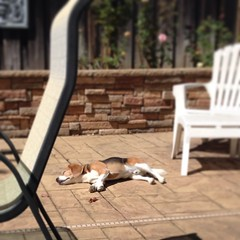 It is 99F here and this is how my Dax relaxes... There may be something wrong with this boy! lol