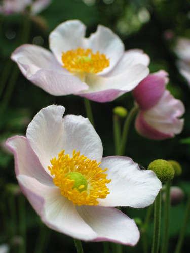 Herbst-Anemone