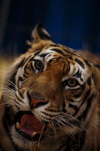 Tiger-8399