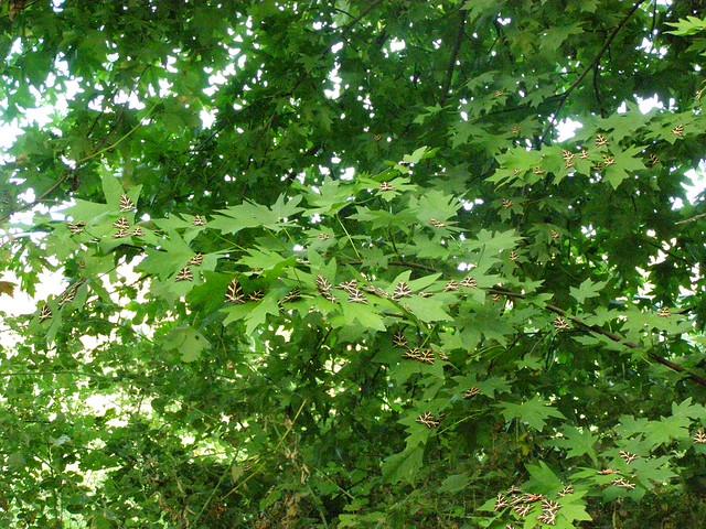 Πεταλούδες Panaxia quadripunctaria στη Ψίνθο !