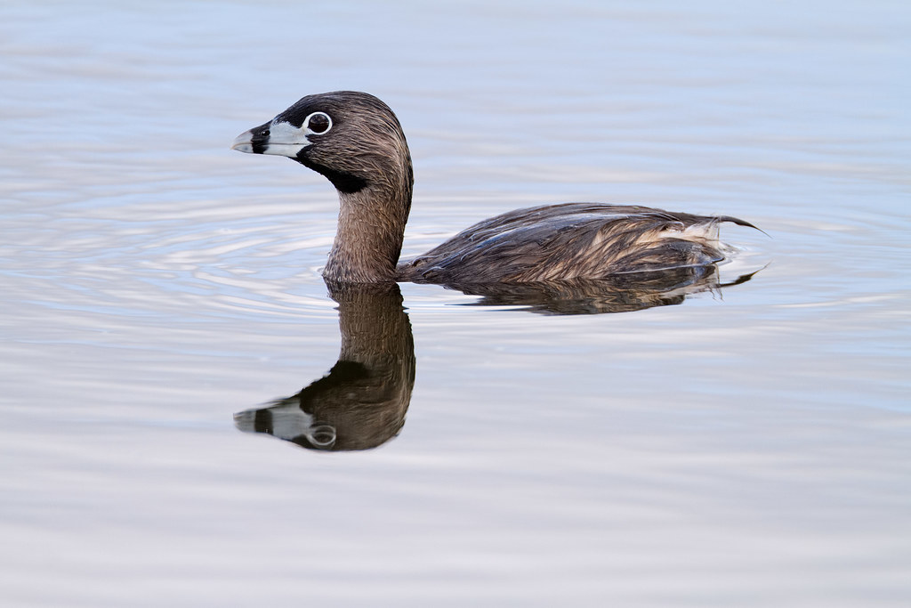 A pied-billed grebe starts to sink down into Long Lake at Ridgefield National Wildlife Refuge