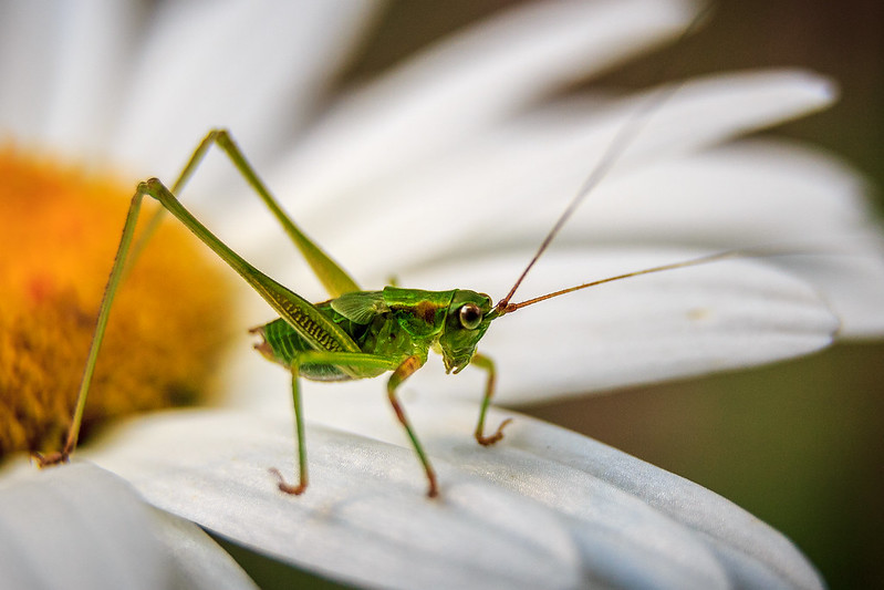 Kate the  Katydid
