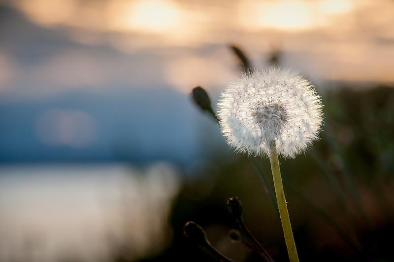 Dandelion Sunset