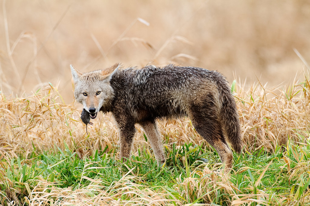 A coyote eats a Townsend's vole on a rainy winter morning