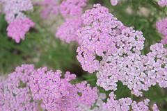 yarrow, annual plant, blossom, flower, lilac, herb, wildflower, flora,