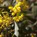 Small photo of Golden Wattle - Acacia pycnantha