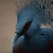 Crowned Pigeon Portrait