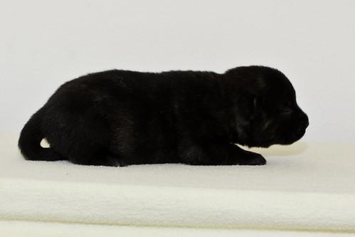 Nori-Litter2-10Days-Puppy5(male)d