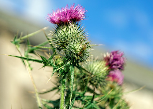 closeup scotland view thistle flowerofscotland wanlockhead leadhills scotlandshighestvillage