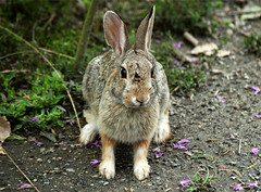 A Ferocious Wild Bunny aDSC_0061