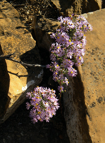 Purple Asters bloom at Colorado's Mesa Verde
