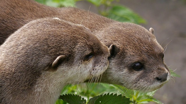 closeup of the faces of two fuzzy Asian Short Clawed Otters. One appears to be whispering into the other's ear.