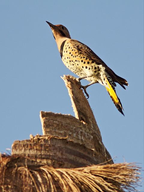 Northern Flicker male 2-20140908