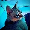 Movie time. #cat #CatsOfInstagram #igcats #PetsOfInstagram #kitty #Singapura #DailyCats #meow