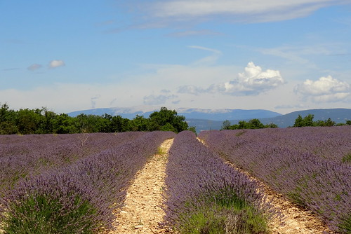 Lavender (Luberon, Provence)