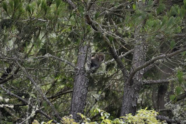 東埔山登山口的台灣獼猴