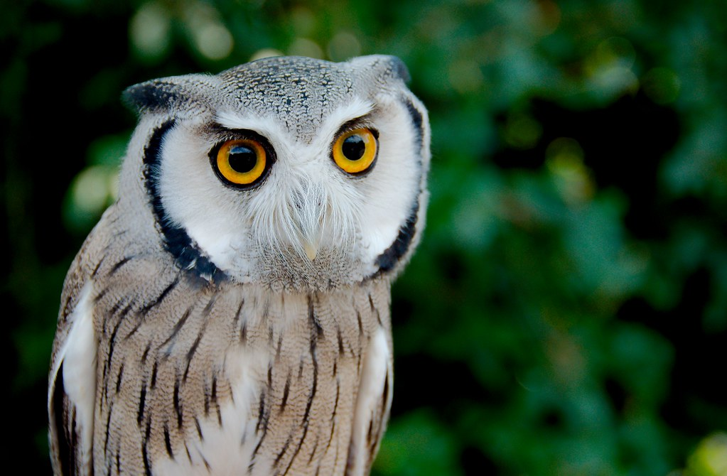 Northern White-faced Owl (Ptilopsis leucotis)_4