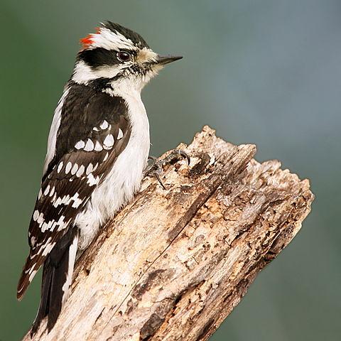 480px-Downy_Woodpecker01