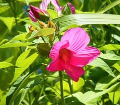 Sunny Pink