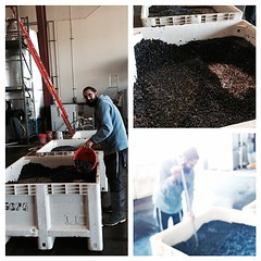 Making the #Kosher #wine happen with #Rabbi Hillel @lafenetrewines and #Cabernet grapes #Chabad #ChabadSLO #ShareSLO