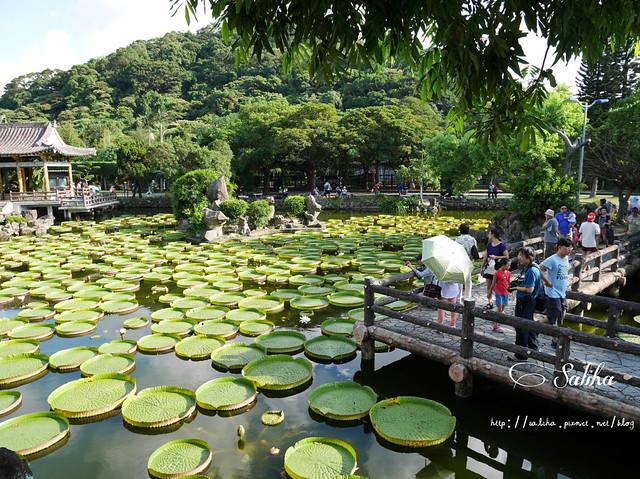 雙溪公園大王蓮 (12)