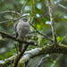 Madagascar Sparrowhawk - Photo (c) Francesco Veronesi, some rights reserved (CC BY-SA)