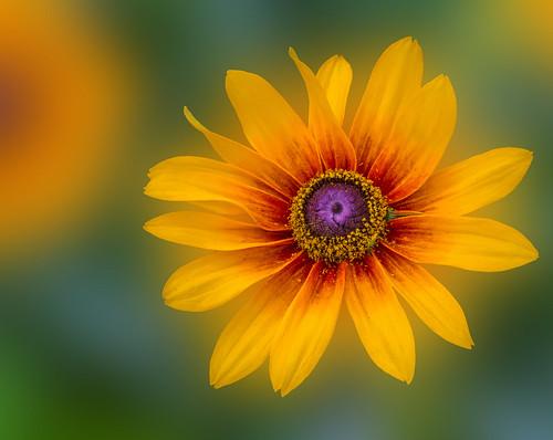 orange flower floral yellow petals flora susan ngc rudbeckia nybg blackeyed newyorkbotanicalgarden hirta